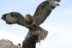 Free Eagle Royalty Free Stock Photos - 2822978