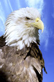Eagle Stock Photos