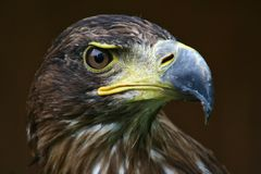 Eagle Stock Photography
