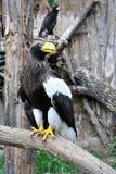 Eagle Fotografie Stock Libere da Diritti