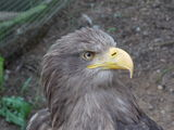 Eagle Royaltyfri Foto