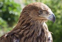 Eagle Stockfoto