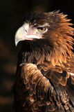 Eagle. Full face shot of a eagle (western australia stock photography