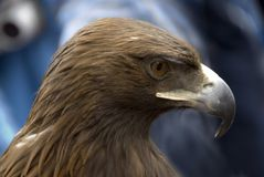 Eagle. On the varicoloured background Royalty Free Stock Photos
