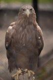 Eagle Arkivfoto