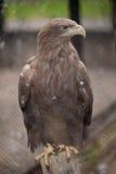 Eagle Royaltyfri Bild