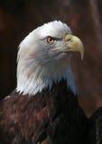 Eagle Lizenzfreie Stockfotografie