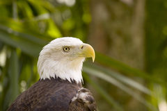 Eagle. American Bald Eagle royalty free stock images