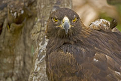 Eagle. Golden Eagle staring royalty free stock images