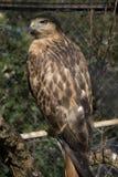 Eagle Obrazy Stock