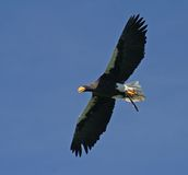 Eagle. White-tailed eagle is flying through the air royalty free stock photos
