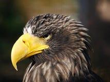 Eagle Zdjęcie Stock
