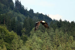 Eagle Arkivbilder