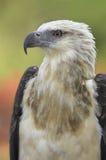 Eagle Stockfotos