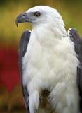 Eagle Lizenzfreies Stockfoto