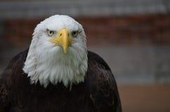Eagle fotografia stock