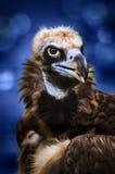 Eagle Stockfotografie