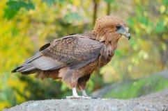 Eagle Fotografia Stock Libera da Diritti