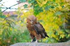 Eagle Immagini Stock Libere da Diritti