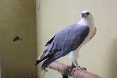 Eagle Fotos de Stock Royalty Free
