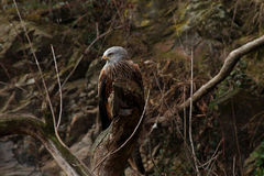 Eagle Stockbilder