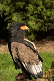 Eagle. The Bateleur Eagle is one of the smaller species of eagle that live on the open plains of Africa Stock Photo
