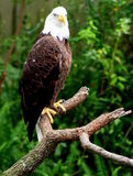 Eagle. An eagle sitting on a branch Royalty Free Stock Photography