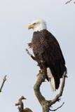 2 eagle Στοκ φωτογραφία με δικαίωμα ελεύθερης χρήσης