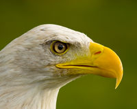 2 eagle Стоковое фото RF