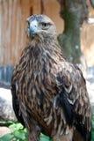 Eagle Photos libres de droits