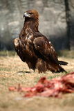 Eagle. A eagle focus at something in zoo royalty free stock photos