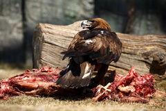 Eagle. A eagle is eating something in zoo stock photo