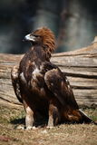 Eagle. A golden eagle in zoo stock photography