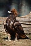 Eagle. A golden eagle in zoo stock photos