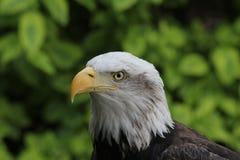 Eagle Fotografía de archivo