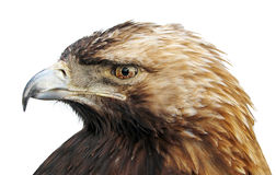 Eagle. Isolated eagle head royalty free stock photos