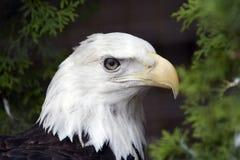 Eagle. Royal eagle Royalty Free Stock Photos