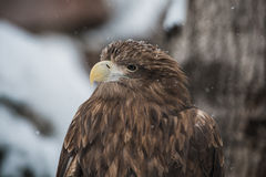 Eagle royalty-vrije stock foto