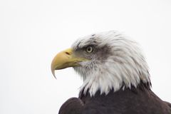 Eagle. Head of eagle stock photos