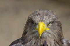 Eagle Imagen de archivo libre de regalías