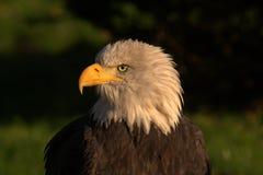 Eagle Stock Foto's