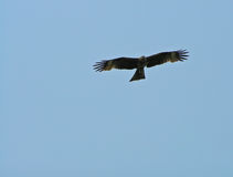Eagle. An eagle in the sky Stock Photo