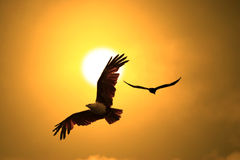 Eagle. Flying eagles against sunsetting sky Stock Image