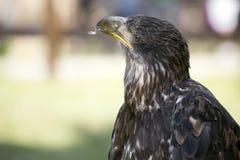 Eagle Imagen de archivo