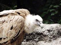 Eagle Image libre de droits
