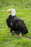 Eagle, Fotografia Stock Libera da Diritti