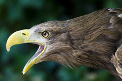 Eagle. A fantastic and genuine eagle Royalty Free Stock Images