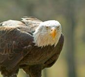Eagle. White head eagle royalty free stock image