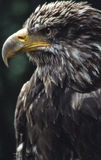 Eagle. At the castle of Guttenberg,Germany Stock Photos