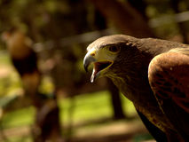Eagle. Harrison Eagle:The Harris's Hawk or Harris Hawk, formerly known as the Bay-winged Hawk or Dusky Hawk, is a medium-large bird of prey which breeds from the Royalty Free Stock Photos